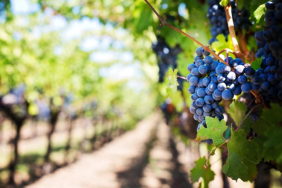 гроздья винограда в Крыму в октябре
